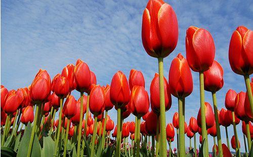 """Képtalálat a következőre: """"tulipán"""""""